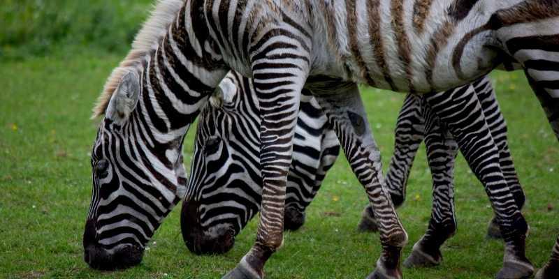 zebras diet