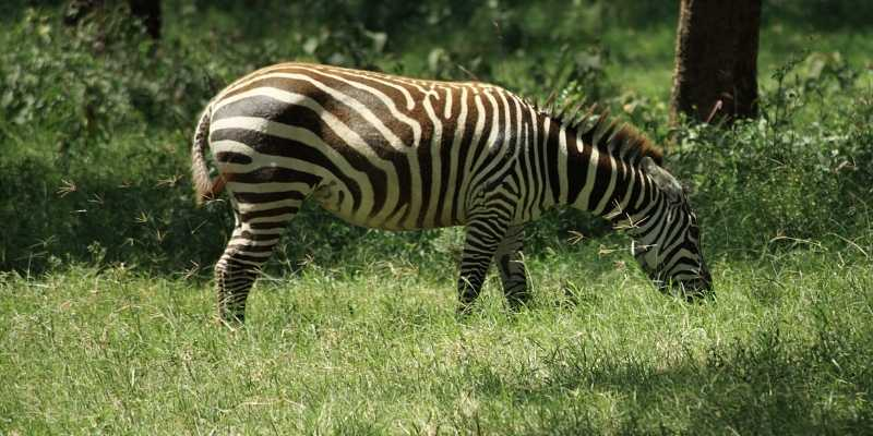 do zebras eat grass