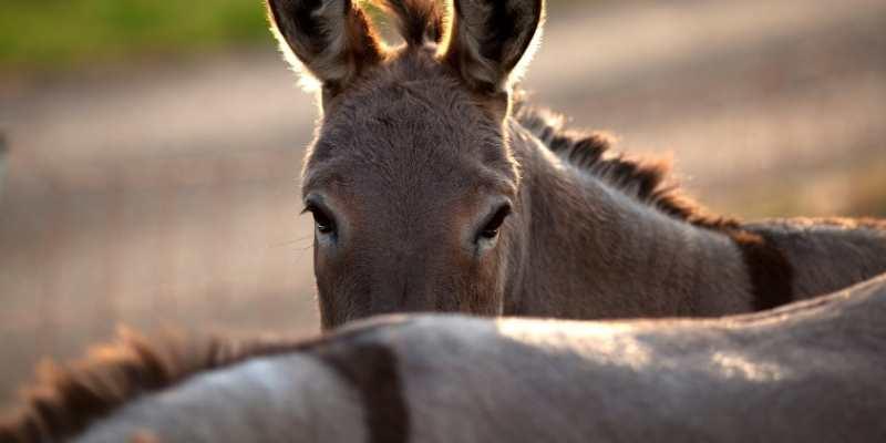donkeys back