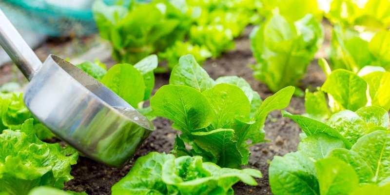 Is Horse Manure Good for vegetable garden