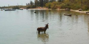 Can Donkeys Swim