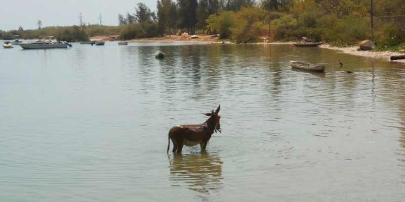 Can Donkeys Swim