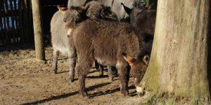 Dwarf Donkey Cost