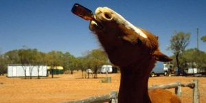 Can Horses Drink Beer