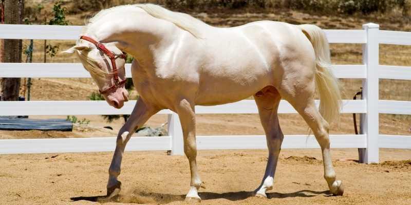 Cremello Horse