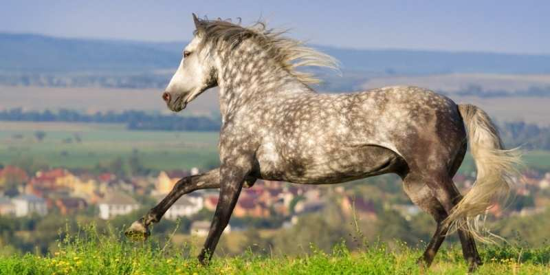 Andalusian Horse price