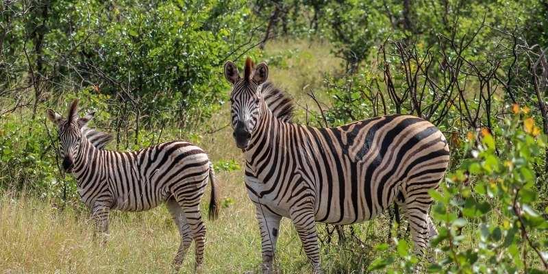 Are Zebras Dangerous