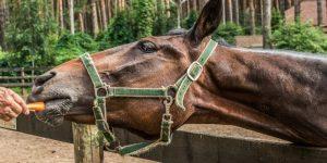 Can Horses Eat Carrots