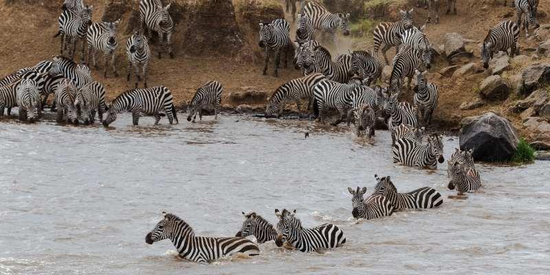 Can Zebras Swim
