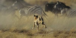 Do Cheetahs Eat Zebras