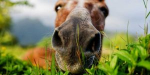 How Long Can A Horse Live With Heaves