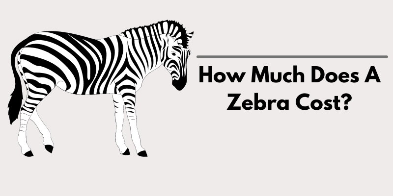 How Much Does A Zebra Cost