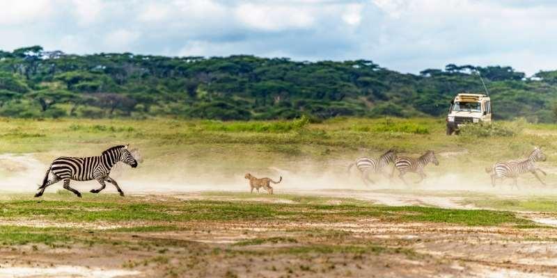cheetah-vs-zebra