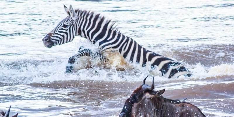 zebra-in-swimming