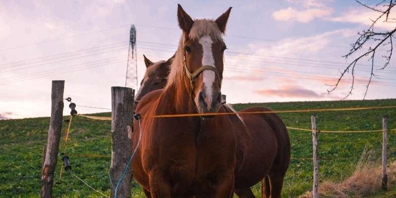 Bhutia-Horse
