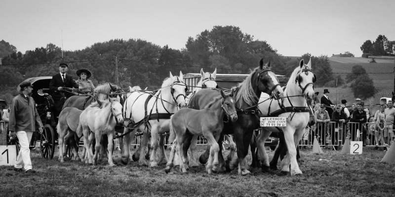 Boulonnais-Horse-breed