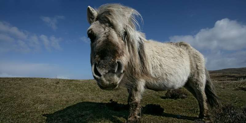 Eriskay-Pony