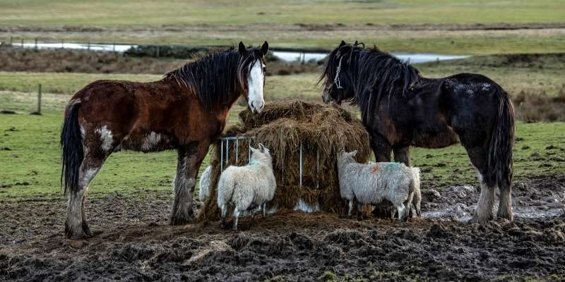 Scottish breeds