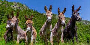 donkey breeds