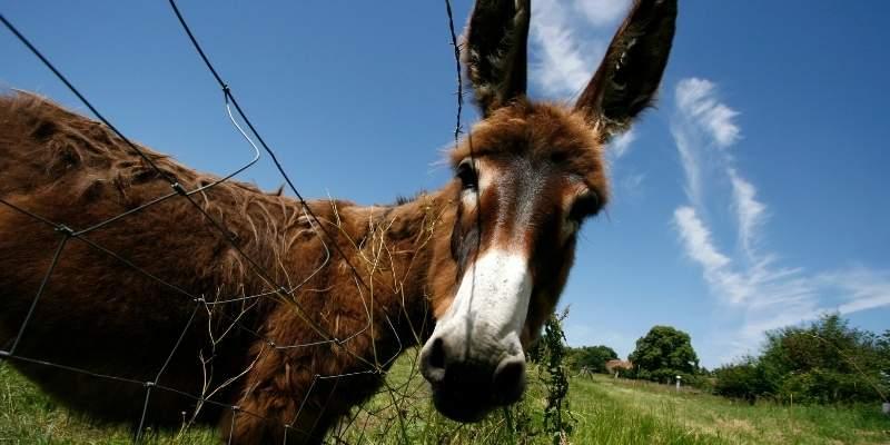 female-donkey