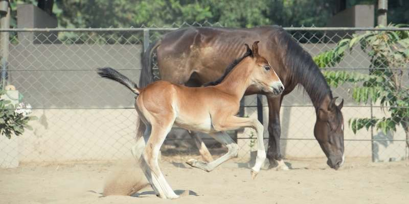 indian horse breeds