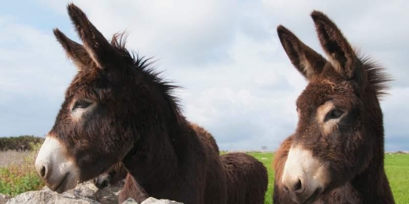 male-donkey
