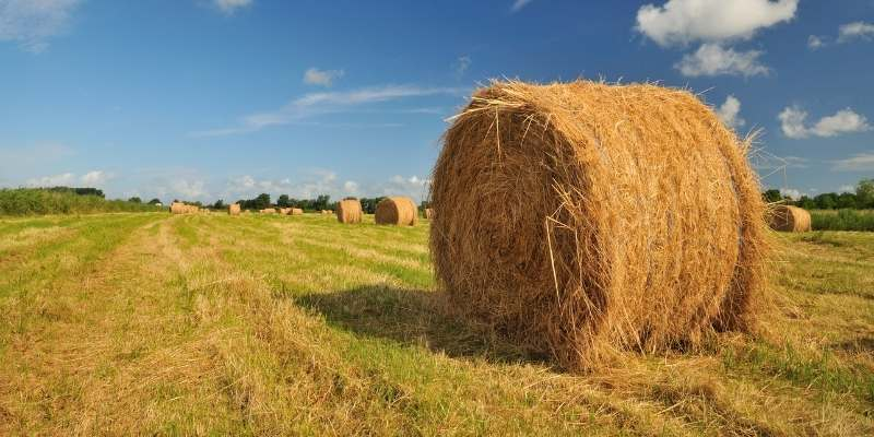 moldy-hay