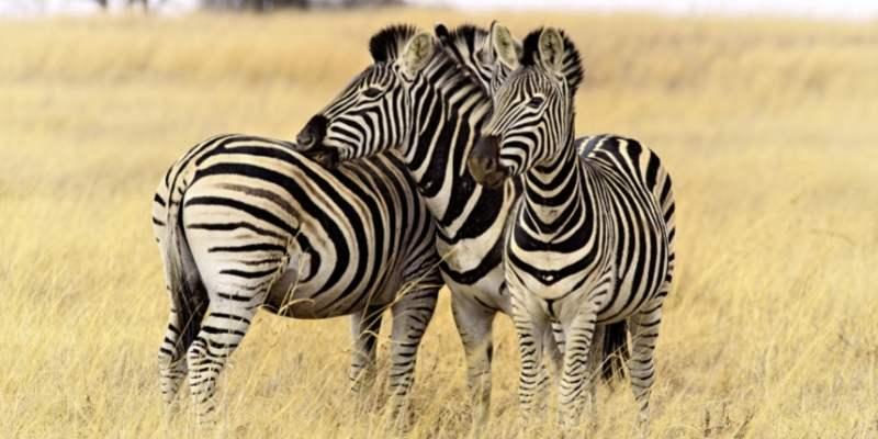 Are Zebras Endangered