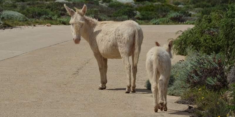 Asinara-Donkey-breed
