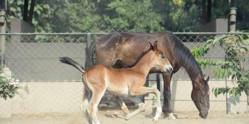 Marwari-Horse