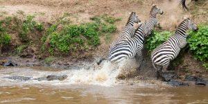 Zebra Predators