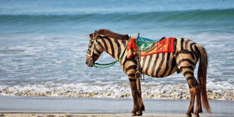 Zebras vs Horses