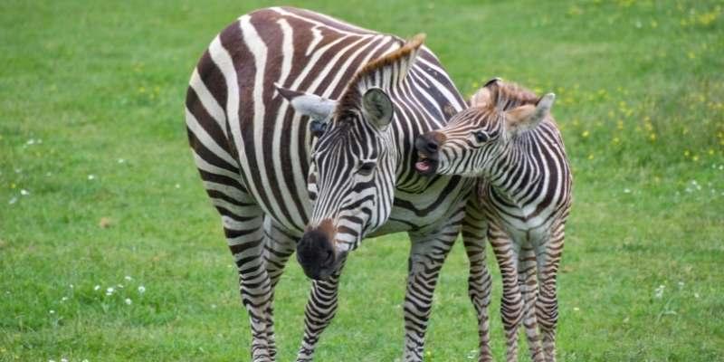 riding-zebras