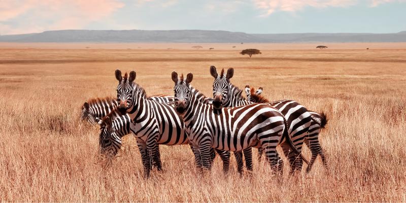 zebra-endangered