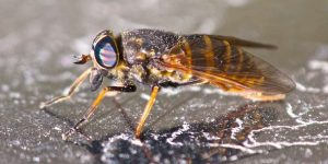 Where Do Horse Flies Come From