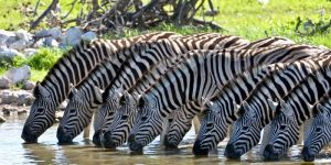 Are Zebras Mammals