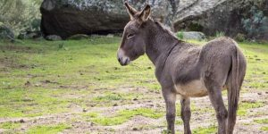 Can Donkeys Get Covid