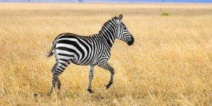 Do People Eat Zebra