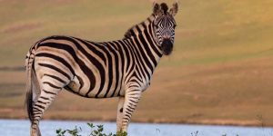 How Many Stripes Does A Zebra Have