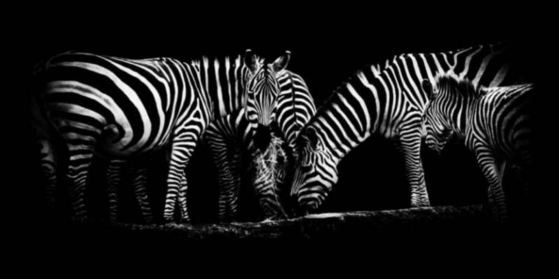 zebra-meat